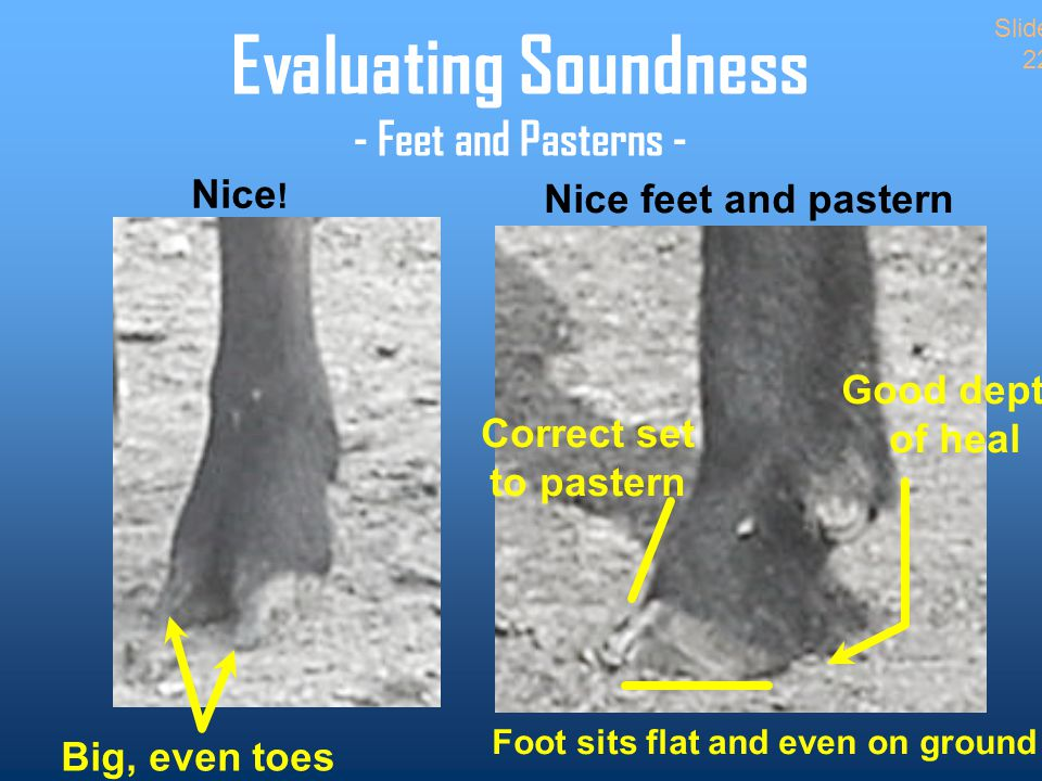 Evaluating Soundness - Feet and Pasterns - Big, even toes Nice feet and pastern Correct set to pastern Foot sits flat and even on ground Good depth of heal Slide 22 Nice !