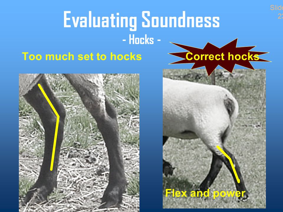 Evaluating Soundness - Hocks - Too much set to hocksCorrect hocks Flex and power Slide 23
