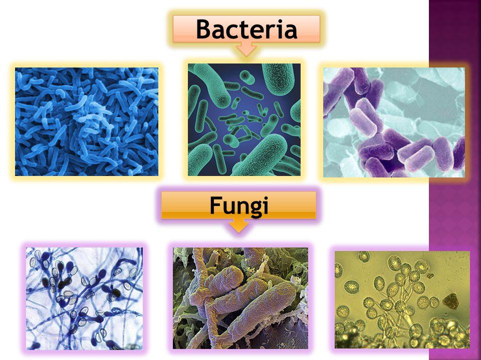 Fungi Bacteria Fungi