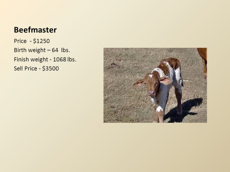 Limousin Price - $1050 Birth weight – 91 lbs. Finish weight – 2000 lbs. Sell Price - $3750