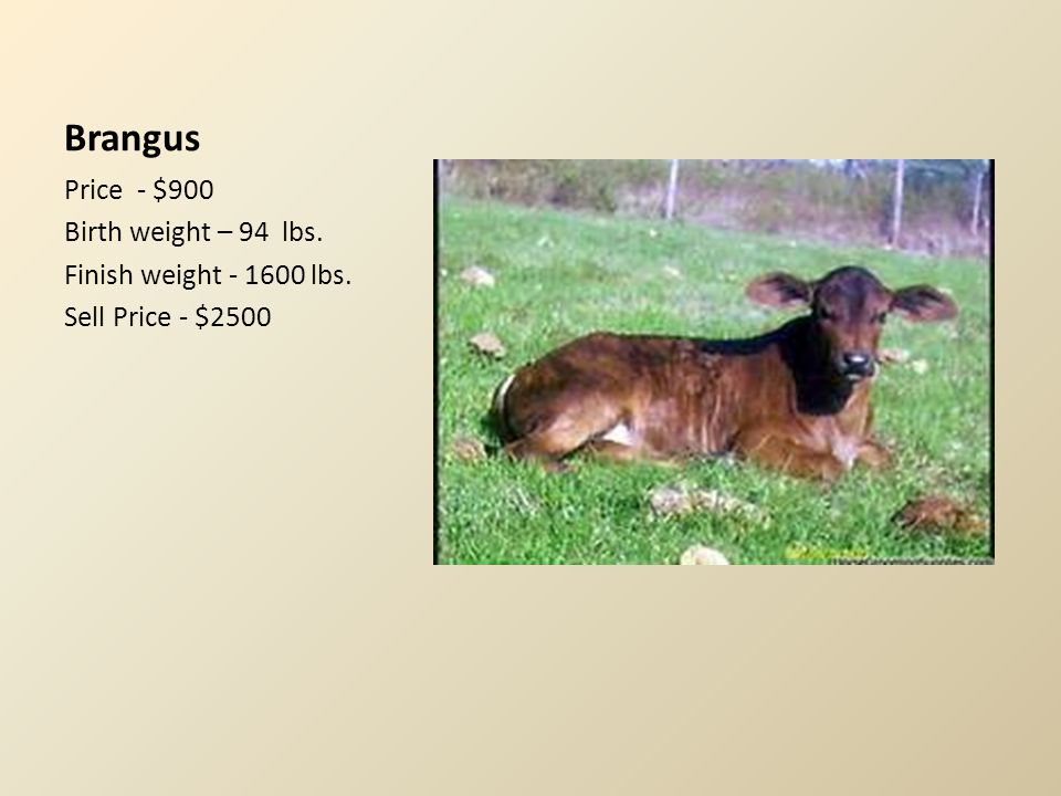 Buelingo Price - $1400 Birth weight – 77 lbs. Finish weight - 1200 lbs. Sell Price - $2000