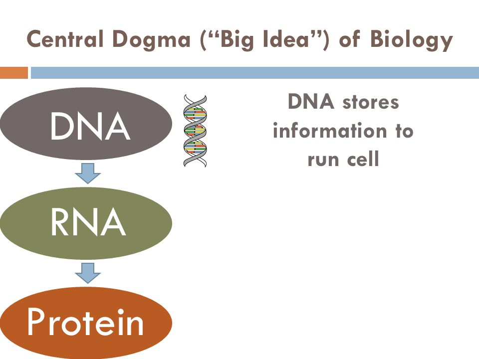 Central Dogma (Big Idea) of Biology DNA RNA Protein DNA stores information to run cell