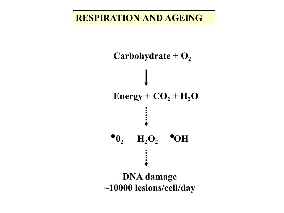 Carbohydrate + O 2 Energy + CO 2 + H 2 O RESPIRATION AND AGEING 0 2 H 2 O 2 OH..