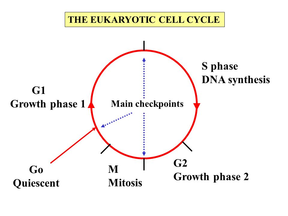 S phase DNA synthesis G2 Growth phase 2 M Mitosis G1 Growth phase 1 Go Quiescent Main checkpoints THE EUKARYOTIC CELL CYCLE