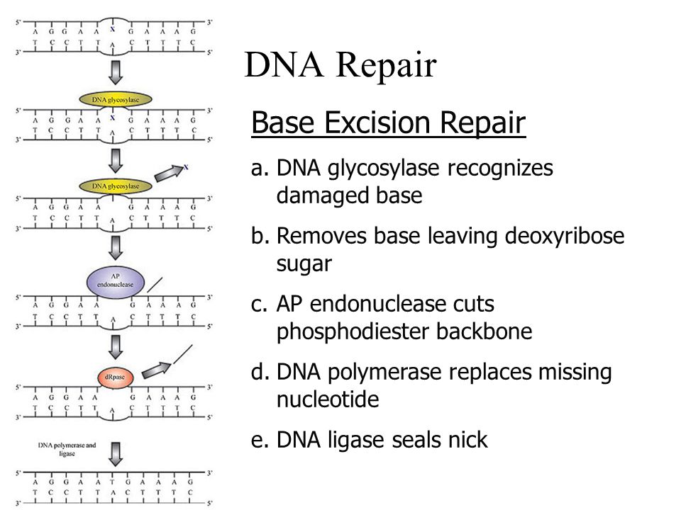 Base Excision Repair a.DNA glycosylase recognizes damaged base b.Removes base leaving deoxyribose sugar c.AP endonuclease cuts phosphodiester backbone d.DNA polymerase replaces missing nucleotide e.DNA ligase seals nick