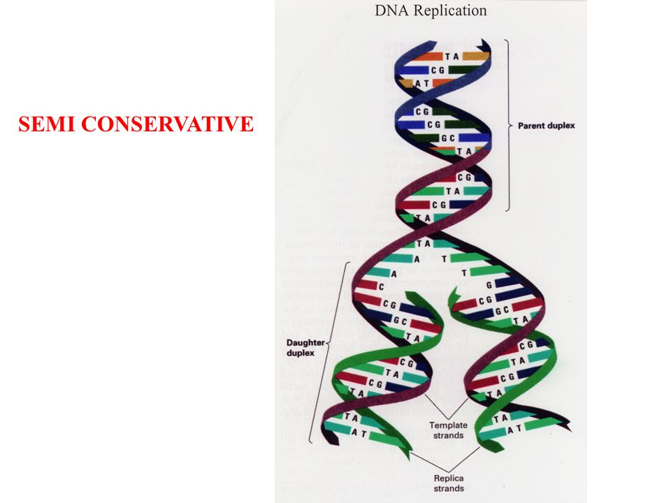 SEMI CONSERVATIVE