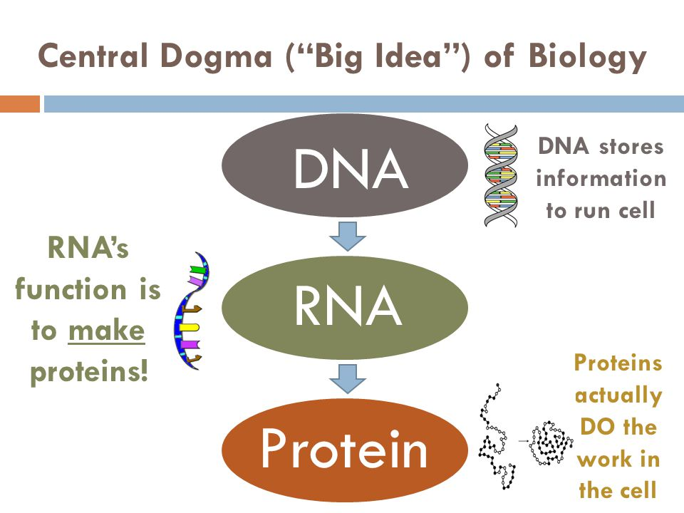 Central Dogma (Big Idea) of Biology DNA RNA Protein DNA stores information to run cell Proteins actually DO the work in the cell RNAs function is to m