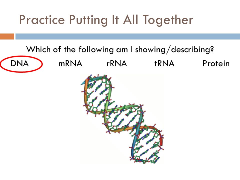 Practice Putting It All Together Which of the following am I showing/describing? DNAmRNArRNAtRNAProtein
