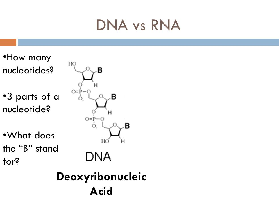 DNA vs RNA Deoxyribonucleic Acid How many nucleotides.