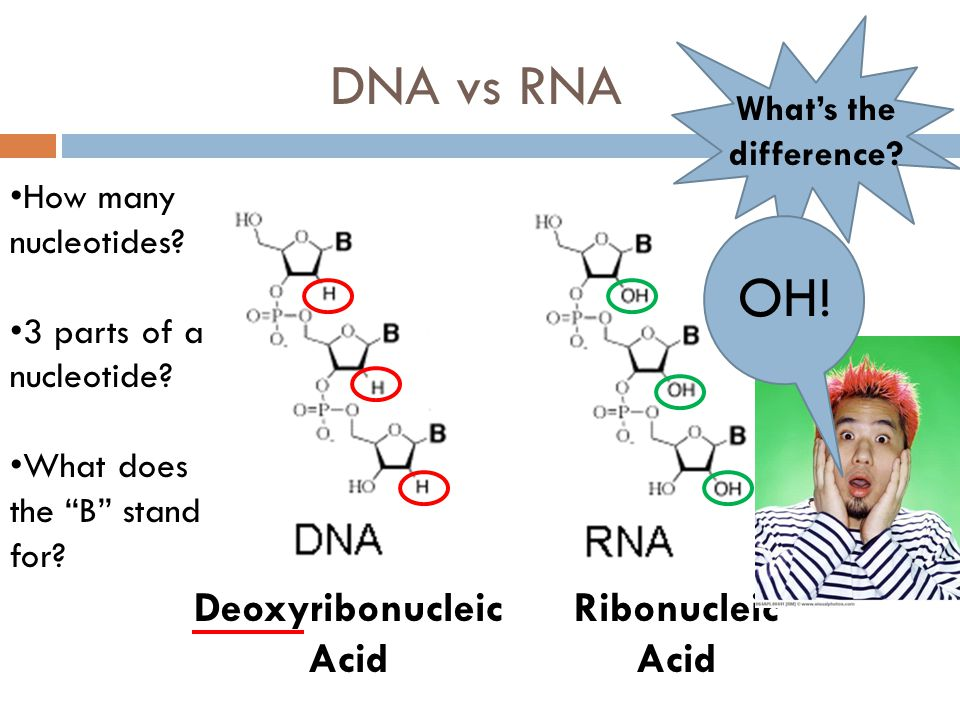 DNA vs RNA Deoxyribonucleic Acid How many nucleotides? 3 parts of a nucleotide? What does the B stand for? Ribonucleic Acid Whats the difference? OH!