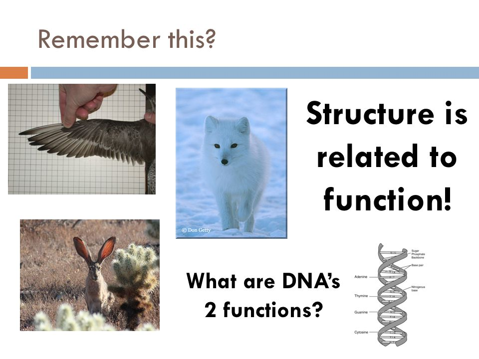 Remember this? Structure is related to function! What are DNAs 2 functions?