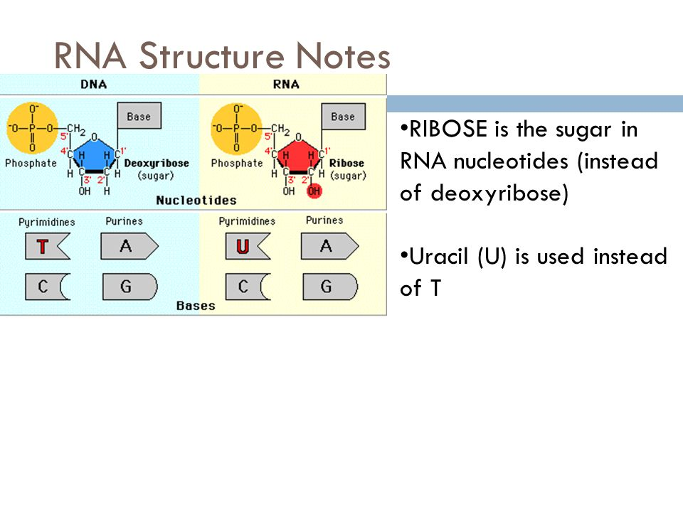 RNA Structure Notes RIBOSE is the sugar in RNA nucleotides (instead of deoxyribose) Uracil (U) is used instead of T