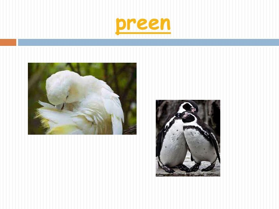 preen