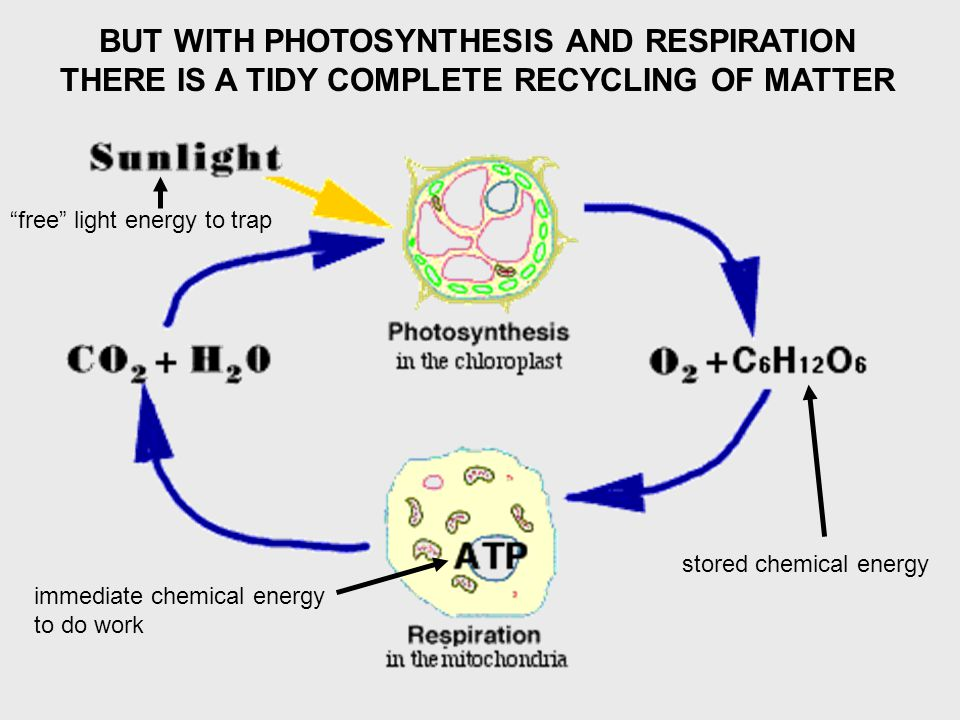 BUT WITH PHOTOSYNTHESIS AND RESPIRATION THERE IS A TIDY COMPLETE RECYCLING OF MATTER immediate chemical energy to do work stored chemical energy free light energy to trap