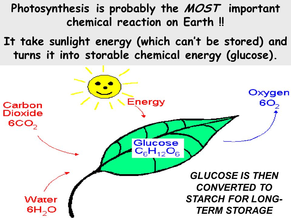 GLUCOSE IS THEN CONVERTED TO STARCH FOR LONG- TERM STORAGE Photosynthesis is probably the MOST important chemical reaction on Earth !.