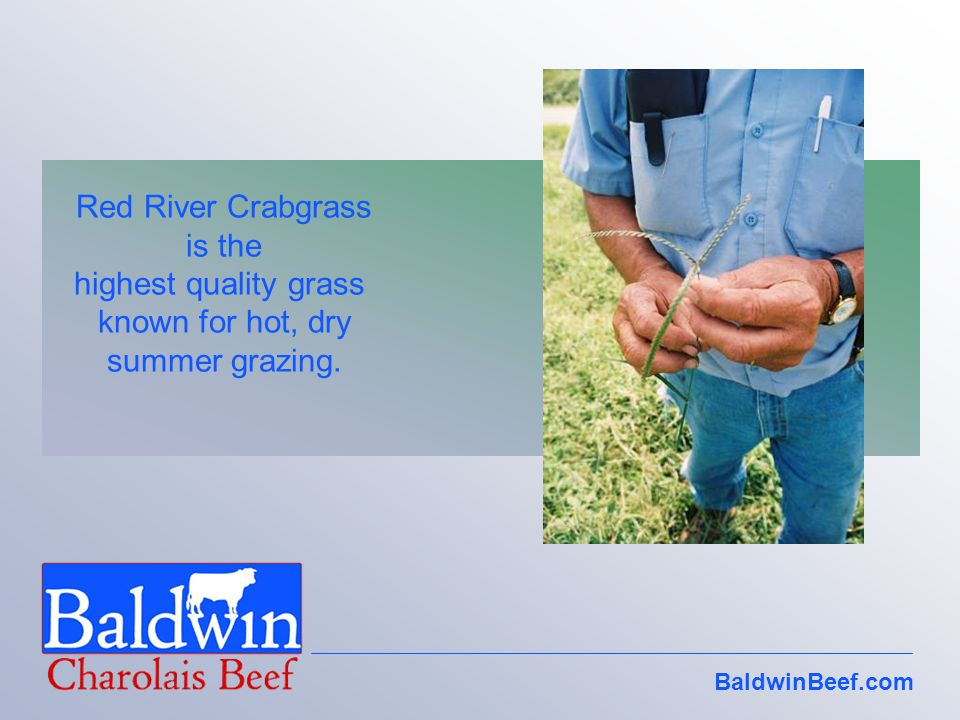 BaldwinBeef.com Red River Crabgrass is the highest quality grass known for hot, dry summer grazing.