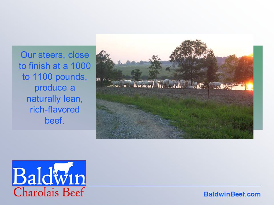 BaldwinBeef.com Our steers, close to finish at a 1000 to 1100 pounds, produce a naturally lean, rich-flavored beef.