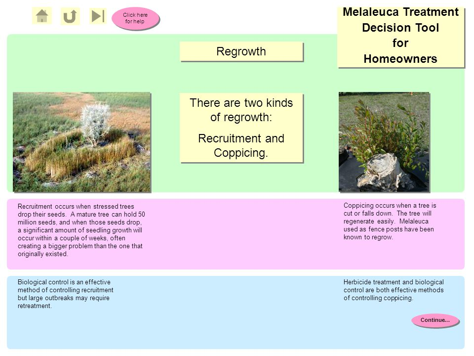 Melaleuca Treatment Decision Tool for Homeowners Melaleuca Treatment Decision Tool for Homeowners Click here for help Click here for help Regrowth Coppicing occurs when a tree is cut or falls down.