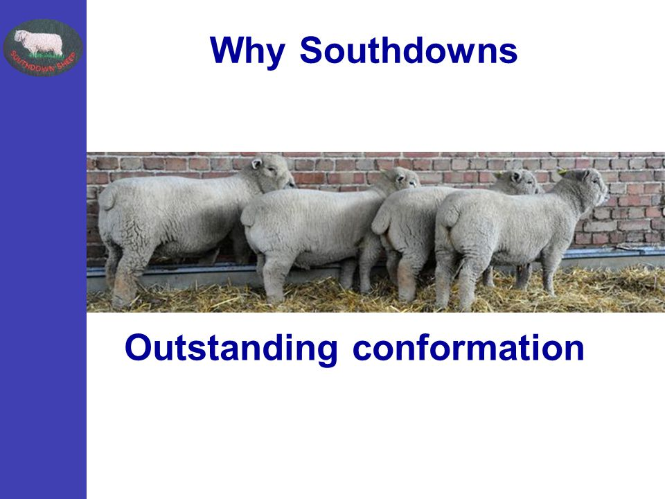 Outstanding conformation Why Southdowns