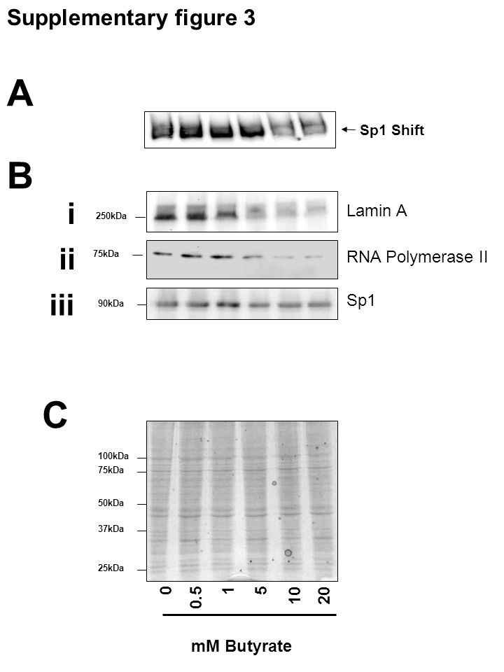Sp1 Shift 90kDa Lamin A RNA Polymerase II 75kDa 250kDa Sp1 A B i ii 0 0.5 15 1020 mM Butyrate 100kDa 75kDa 50kDa 37kDa 25kDa iii C Supplementary figure 3