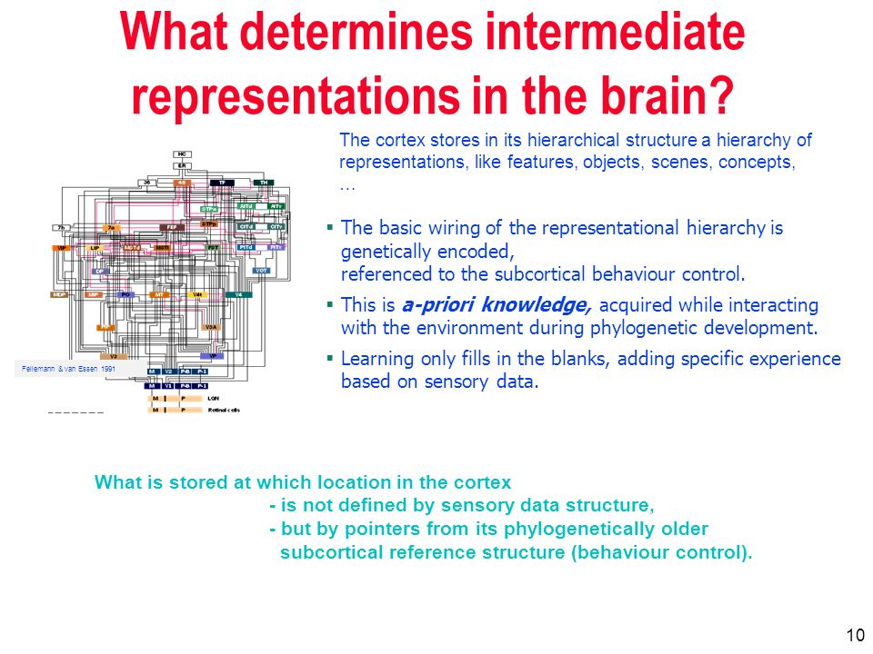 10 What determines intermediate representations in the brain.