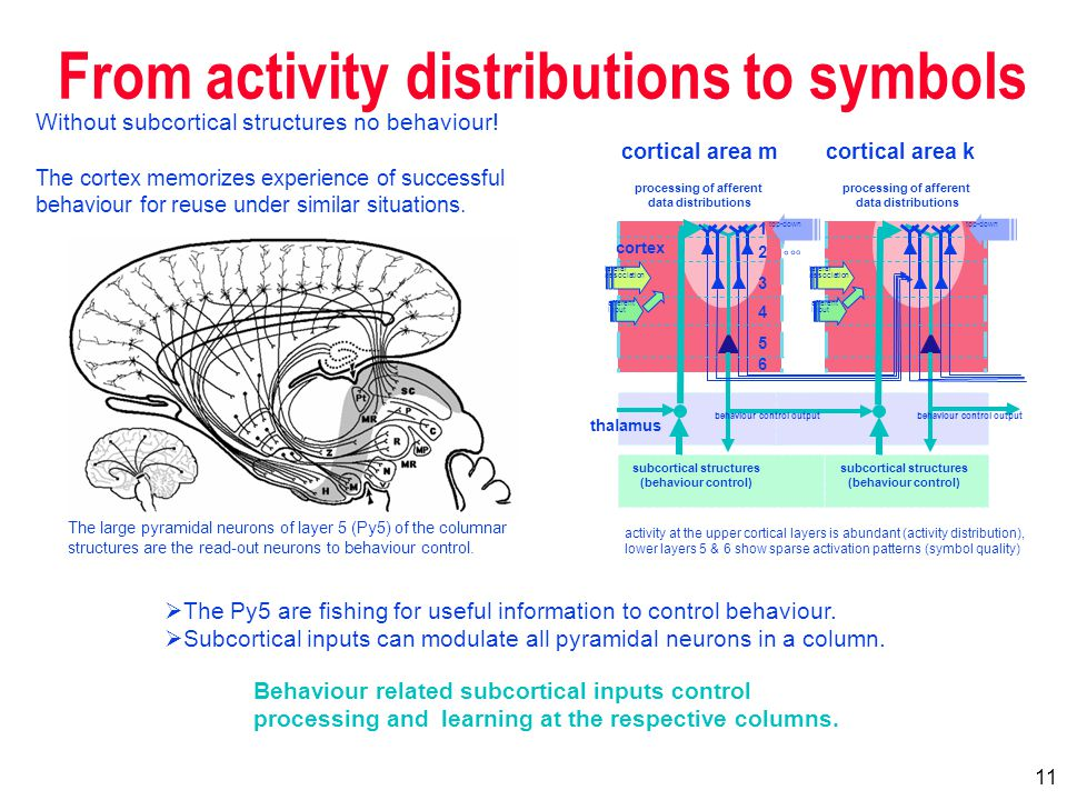 11 From activity distributions to symbols cortical area mcortical area k activity at the upper cortical layers is abundant (activity distribution), lower layers 5 & 6 show sparse activation patterns (symbol quality) The large pyramidal neurons of layer 5 (Py5) of the columnar structures are the read-out neurons to behaviour control.