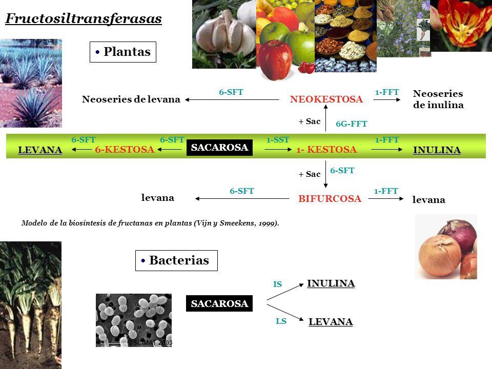 Fructosiltransferasas Plantas Neoseries de levana LEVANA levana Neoseries de inulina INULINA levana NEOKESTOSA 1- KESTOSA BIFURCOSA SACAROSA 6-KESTOSA