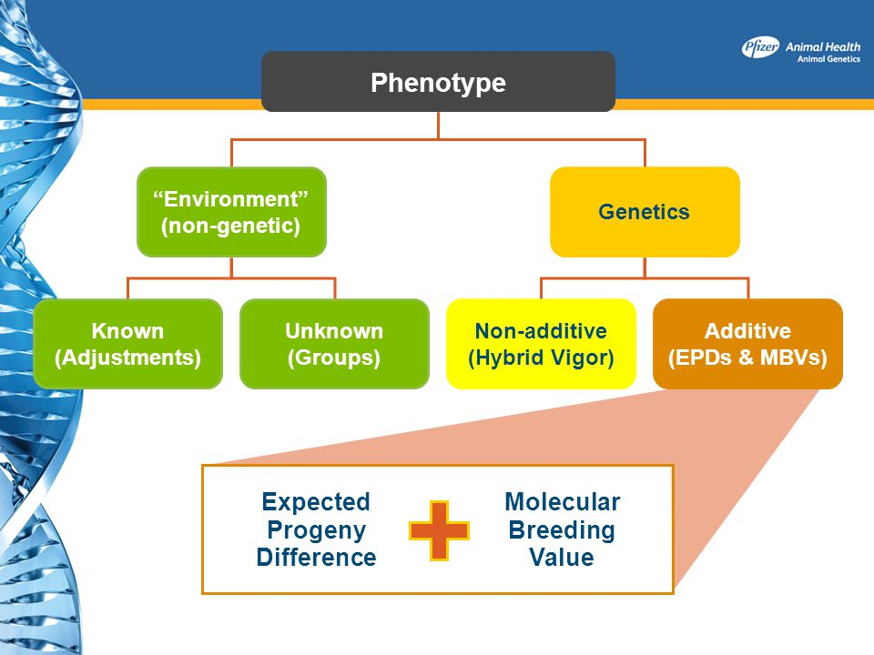 Phenotype Environment (non-genetic) Genetics Known (Adjustments) Unknown (Groups) Non-additive (Hybrid Vigor) Additive (EPDs & MBVs) Expected Progeny