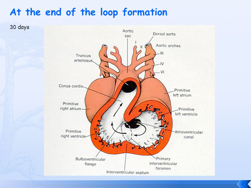 Formation of the Cardiac Loop 28 days Atrium grows dorsally to the left Ventricle & bulbus cordis grows ventrally & to the right