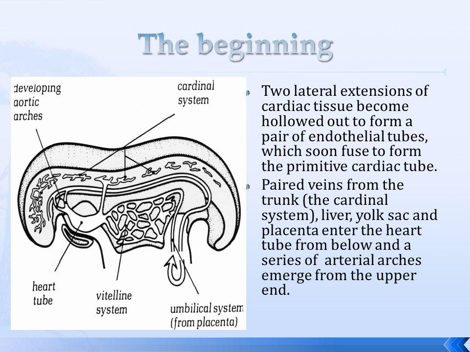Endocardium: Endothelial lining,Connective tissue precursor (Valves and fibrous skeleton). Myocardium: Myocytes, Conduction system (Purkinje fibres),M