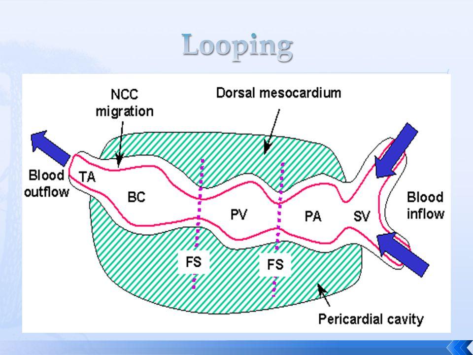 the sinus venosus the atrium the ventricle bulbus cordis arterial trunk