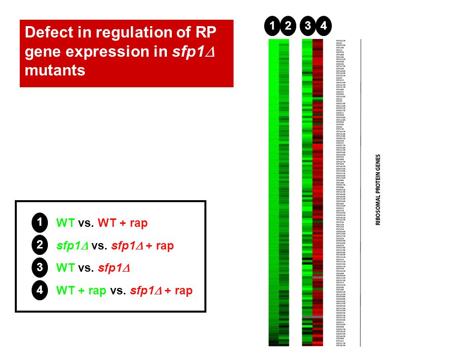 Defect in regulation of RP gene expression in sfp1 mutants WT vs.