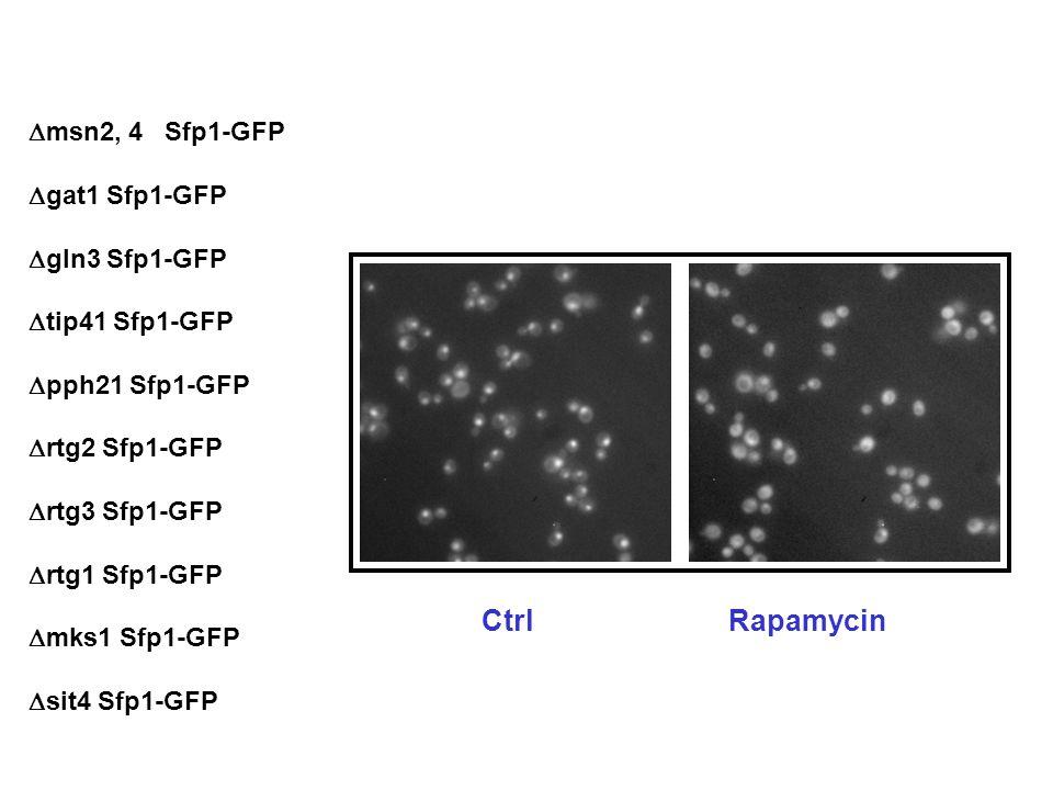msn2, 4 Sfp1-GFP gat1 Sfp1-GFP gln3 Sfp1-GFP tip41 Sfp1-GFP pph21 Sfp1-GFP rtg2 Sfp1-GFP rtg3 Sfp1-GFP rtg1 Sfp1-GFP mks1 Sfp1-GFP sit4 Sfp1-GFP CtrlRapamycin