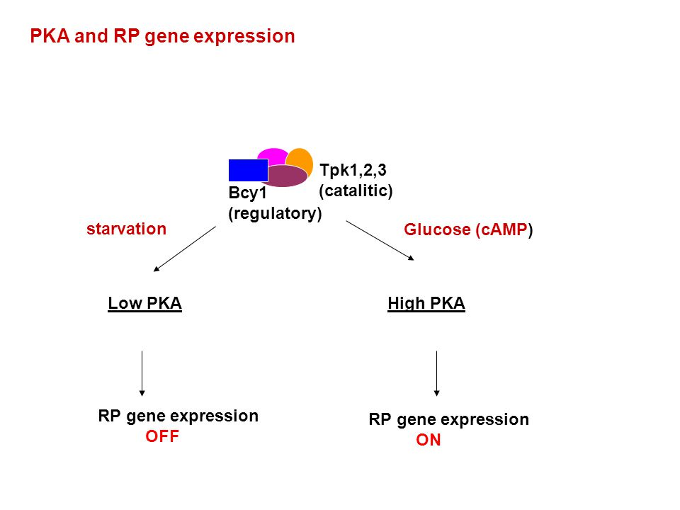 PKA and RP gene expression Low PKAHigh PKA RP gene expression OFF RP gene expression ON starvation Glucose (cAMP) Bcy1 (regulatory) Tpk1,2,3 (catalitic)