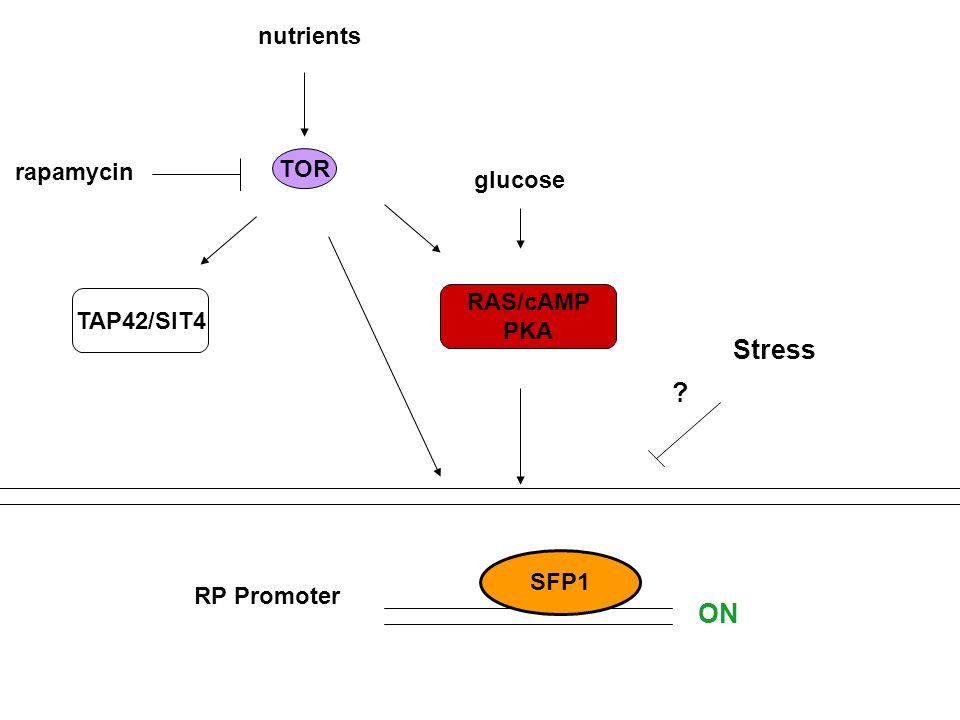 TOR rapamycin nutrients TAP42/SIT4 RAS/cAMP PKA SFP1 RP Promoter ON glucose Stress