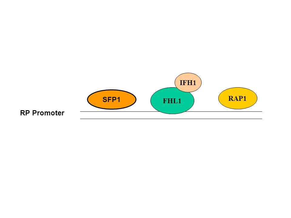 SFP1 RP Promoter FHL1 IFH1 RAP1