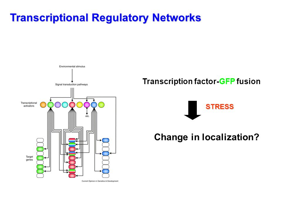 Construction of a yeast TF-GFP library 251 known or predicted transcription factors 172 had detectable fluorescent signal (70%) 137 nuclear (80%) 35 cytoplasmic (20%) - live cells, no fixation needed -endogenous promoter