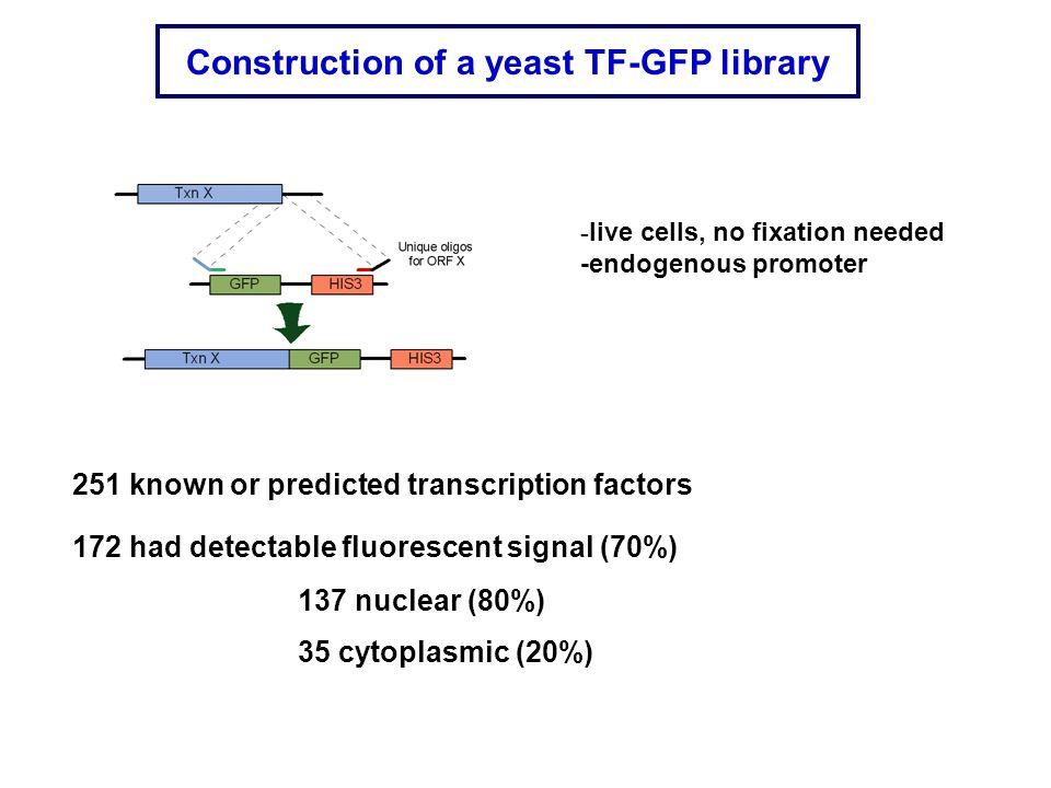 wt Sfp1 GFP bcy1 Sfp1GFP CtrlRapamycin PKA CONTROLS LOCALIZATION OF SFP1 Schmelzle T.