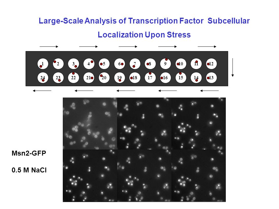 1 24 2 23 3 22 4 21 5 20 6 19 7 18 8 17 9 1615 10 14 11 13 12 Msn2-GFP 0.5 M NaCl Large-Scale Analysis of Transcription Factor Subcellular Localization Upon Stress