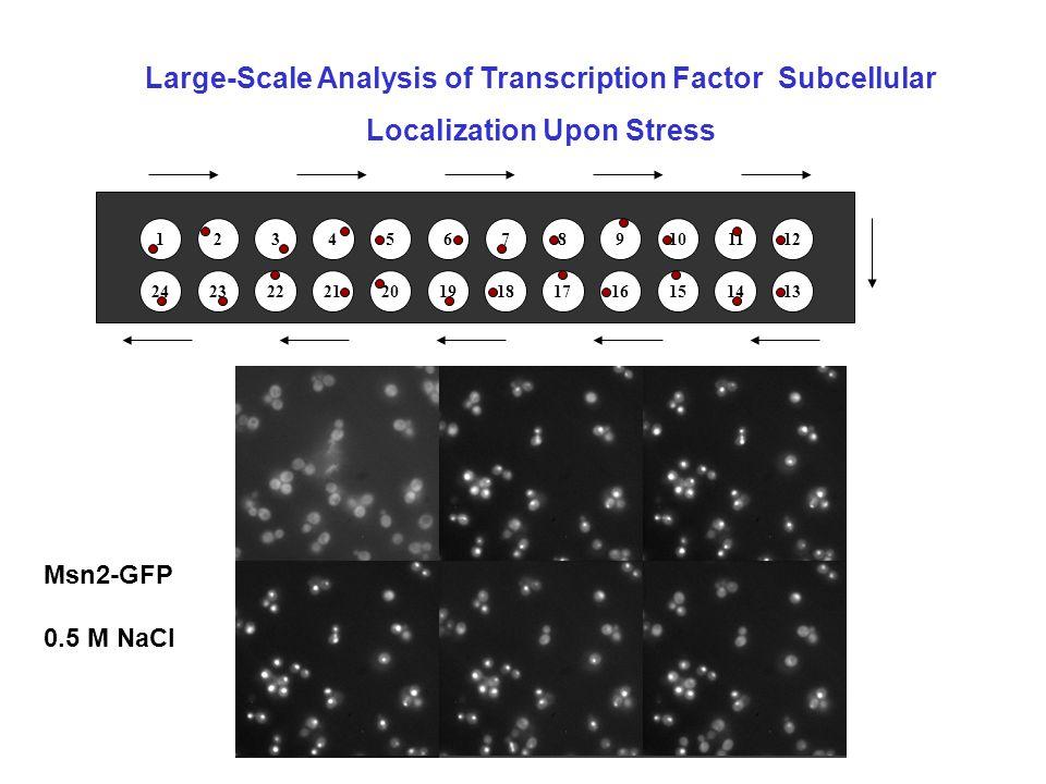 Tunicamycin (3h 30)Ctrl ONOFF ribosomal gene transcription 5.