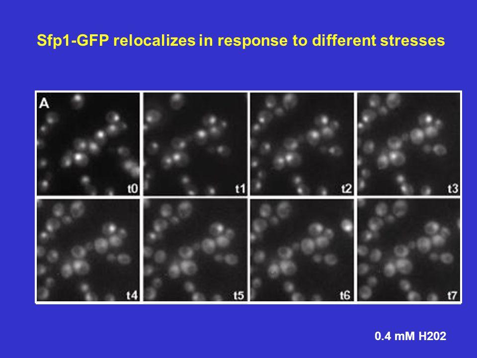Sfp1 binds RP promoters Sfp1 Occupancy Sfp1-HA Chromatin IP and Quantitative PCR Quantitavive PCR for target genes (promoter area)