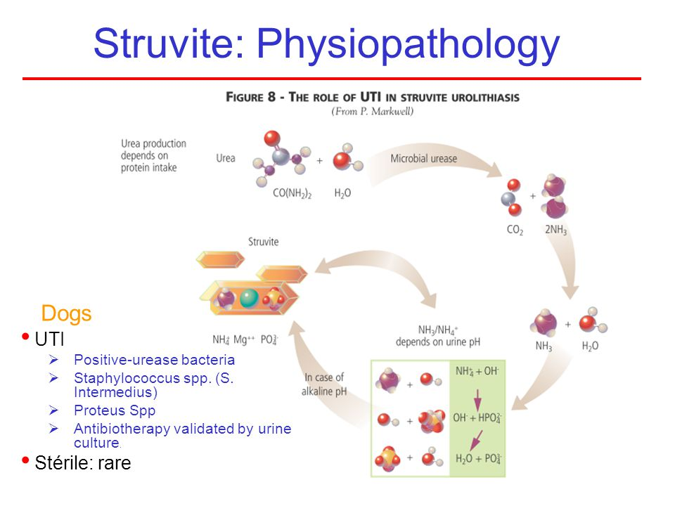 Struvite: Physiopathology UTI Positive-urease bacteria Staphylococcus spp. (S. Intermedius) Proteus Spp Antibiotherapy validated by urine culture. Sté