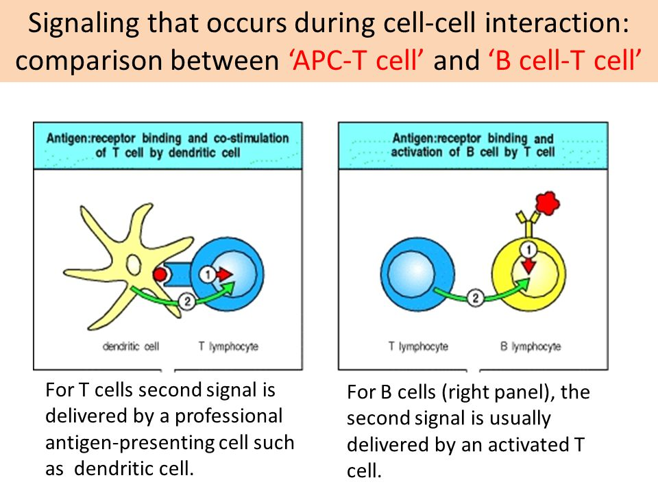 For B cells (right panel), the second signal is usually delivered by an activated T cell.