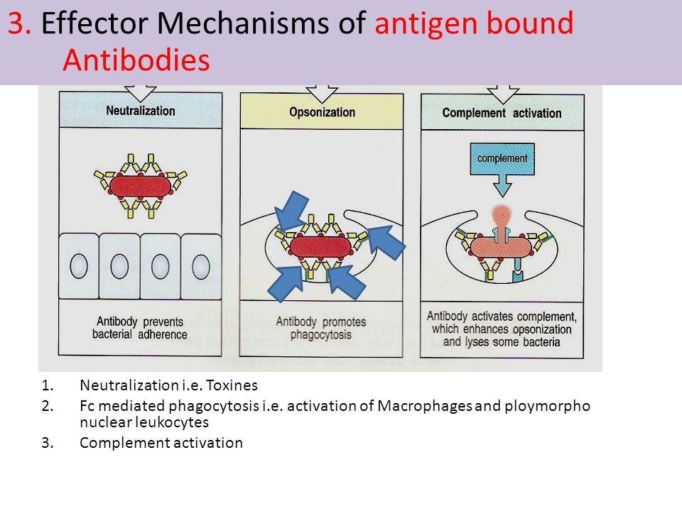1.Neutralization i.e. Toxines 2.Fc mediated phagocytosis i.e. activation of Macrophages and ploymorpho nuclear leukocytes 3.Complement activation 3. E