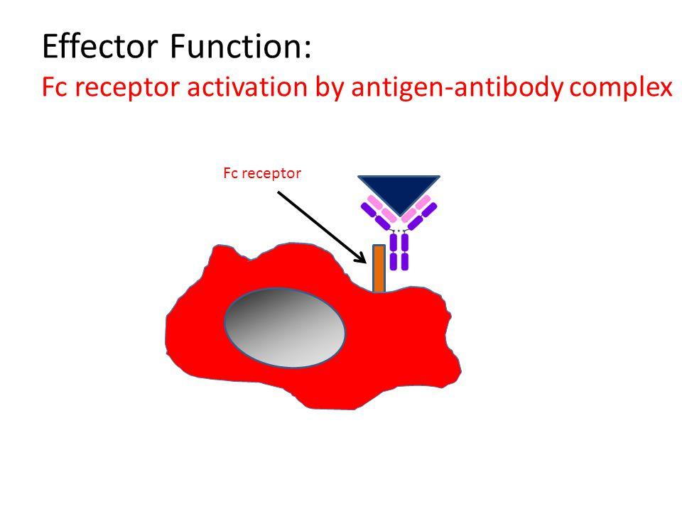 Effector Function: Fc receptor activation by antigen-antibody complex Fc receptor