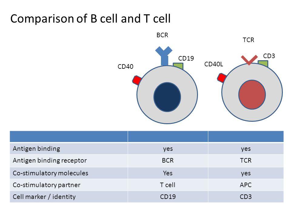 Comparison of B cell and T cell CD40 BCR CD19 TCR CD3 Antigen bindingyes Antigen binding receptorBCRTCR Co-stimulatory moleculesYesyes Co-stimulatory partnerT cellAPC Cell marker / identityCD19CD3 CD40L