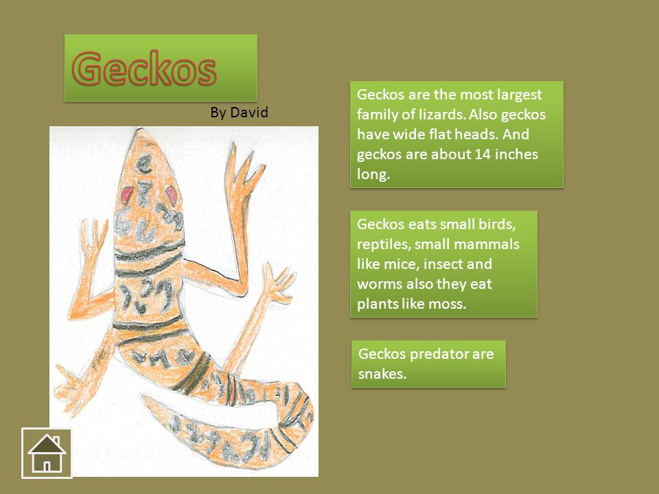 Geckos are the most largest family of lizards. Also geckos have wide flat heads. And geckos are about 14 inches long. Geckos eats small birds, reptile