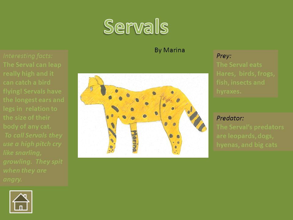 Interesting facts: The Serval can leap really high and it can catch a bird flying! Servals have the longest ears and legs in relation to the size of t