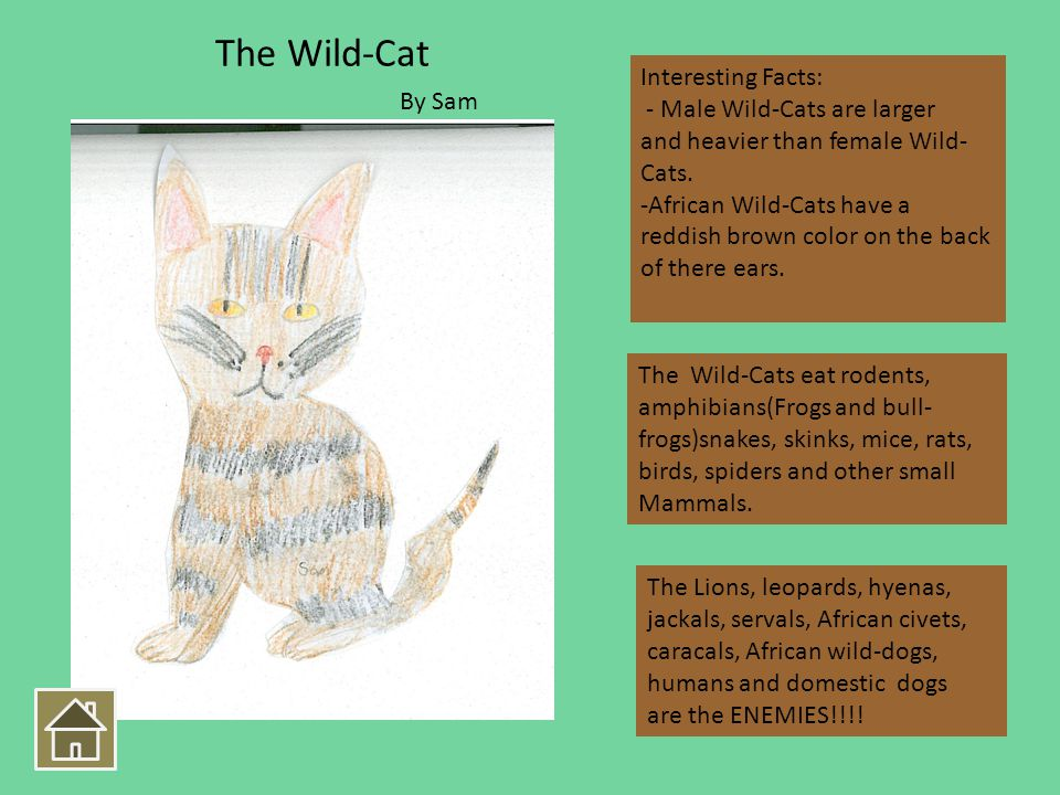 Interesting Facts: - Male Wild-Cats are larger and heavier than female Wild- Cats.