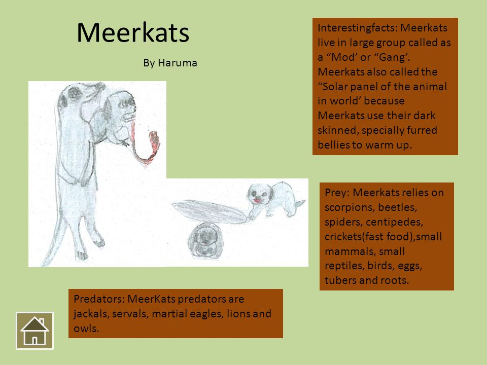 Meerkats Interestingfacts: Meerkats live in large group called as a Mod or Gang. Meerkats also called the Solar panel of the animal in world because M